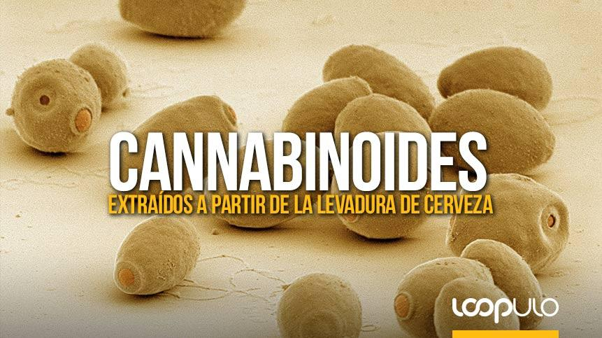 Cannabinoides extraídos a partir de la levadura de cerveza