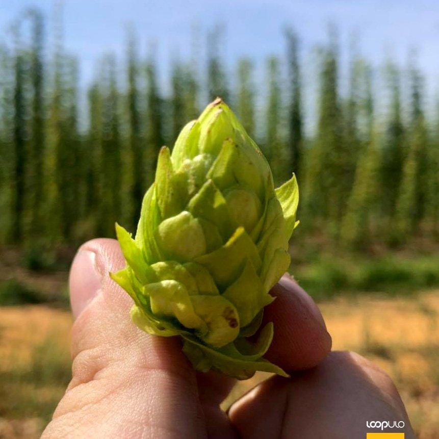 Cervezanía se convierte en distribuidor de lúpulos Órbigo Valley – Loopulo