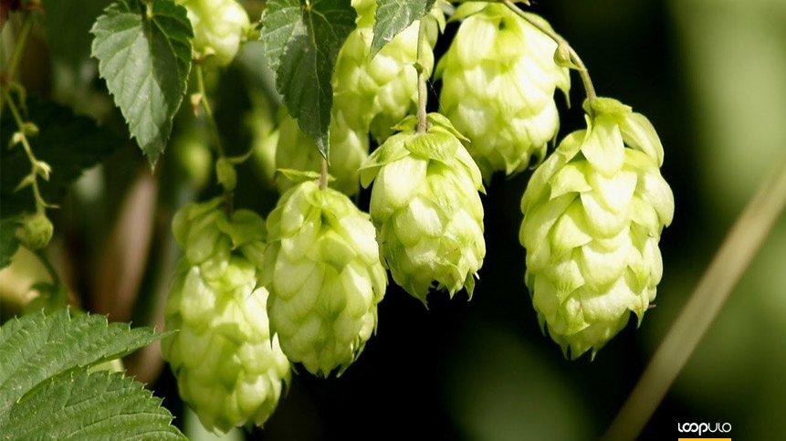 LA SALVE elaborará sus cervezas con lúpulos Hopsteiner – Loopulo